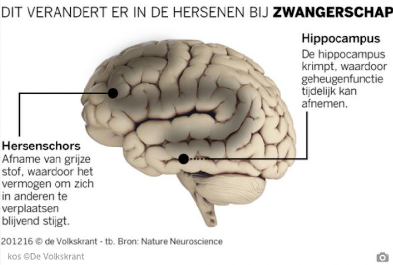 veranderingen hersenen tijdens zwangerschap
